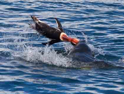 killer whale attacks seal